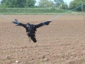 Corbeau mort pendu dans un champ