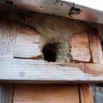 Nichoir à balcon cimenté par une sittelle torchepot