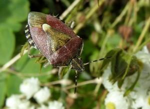 PENTATOMIDAE Dolycoris baccarum (Punaise des baies ou pentatome des baies)