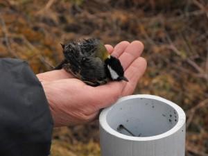Poteaux creux : danger pour les oiseaux cavernicoles!