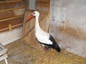 Sauvetage de Lorelei la cigogne blanche - 2015