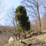 Un vieux lierre sur un cerisier mort
