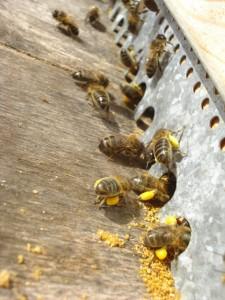Les pelotes de pollen sur les pattes des abeilles