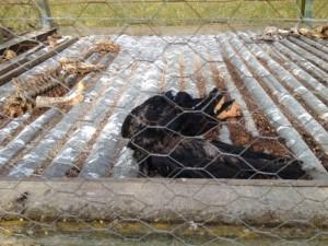 Corbeaux morts dans une cage-piège01 juillet 2015