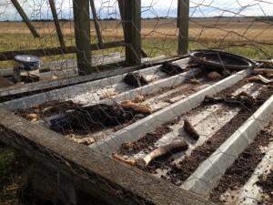 Corbeaux morts dans une cage-piège