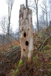 Les arbres morts pour la biodiversité