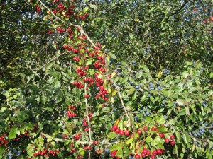 Fruits d'aubépine et prunelier Photo Catherine Bernardin