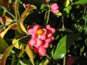 Fruits de fusain alias bonnet d'évêque Photo Andrée Martinez