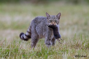 Chat forestier © Fabrice Cahez