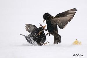 Dispute merle, étourneau en hiver © Fabrice Cahez
