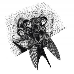 Hirondelles au nid - Dessin de Catherine Bernardin