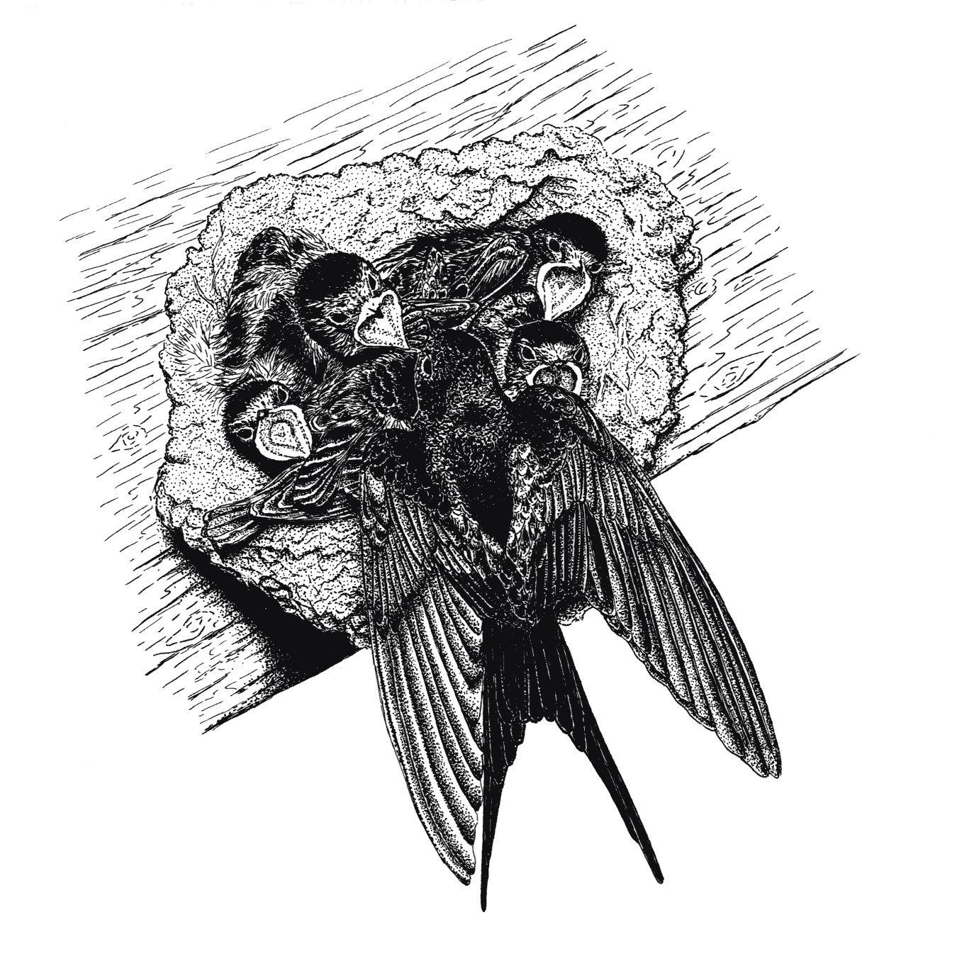 Association Oiseaux Nature Hirondelles Au Nid Dessin