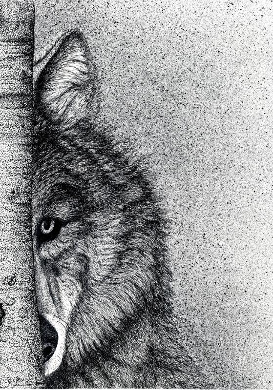 Association oiseaux nature cohabiter avec la faune sauvage - Un loup dessin ...
