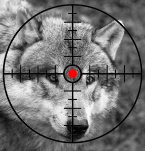 Loup en danger! (Image Férus)
