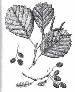 Aulne glutineux - Dessin de Catherine Bernardin