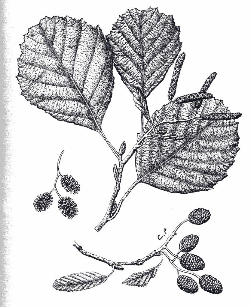 Aulne glutineux-Dessin de Catherine Bernardin