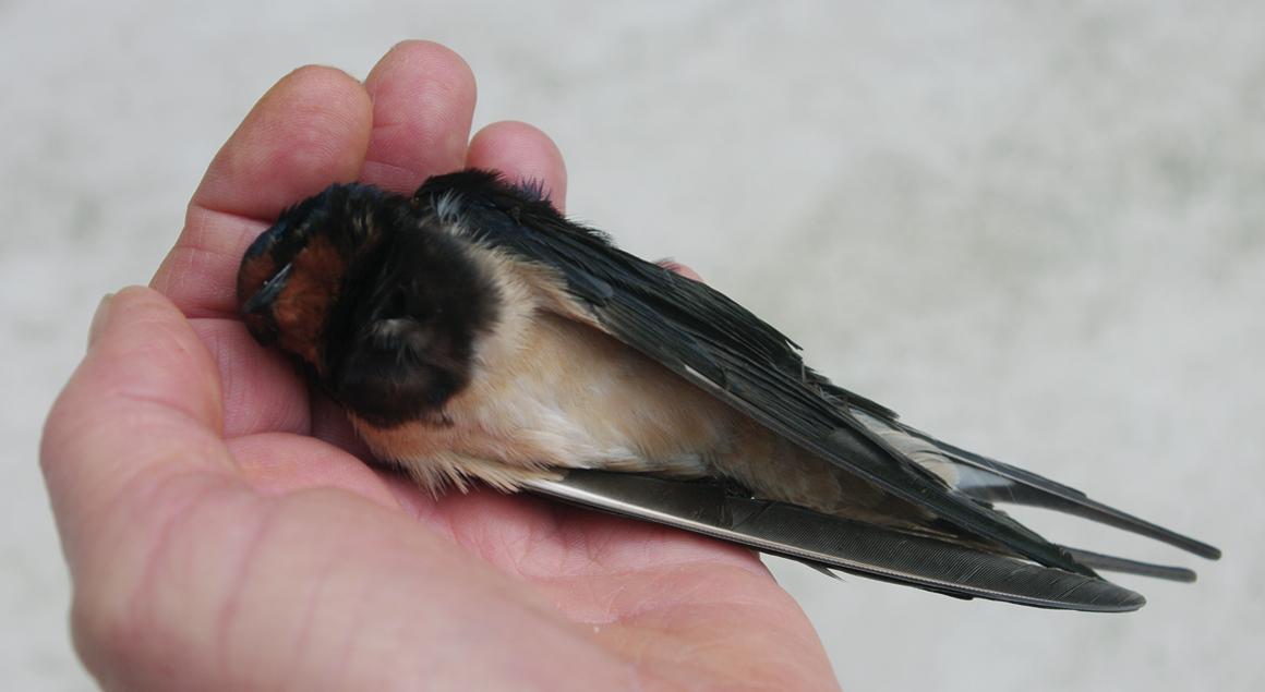 Association oiseaux nature les oiseaux des jardins peu for Oiseaux de jardin au printemps