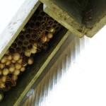 """Un nid de guêpes polistes dans le montant d'une serre. Tous les ans au printemps, elles s'installent dans ce lieu chaud pour une """"colocation"""" de quelques mois."""