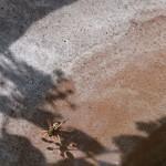 Guêpe poliste buvant l'eau d'une fontaine, installée non loin de la serre. Elles peuvent ainsi rafraichir le nid lors des grandes chaleurs, en recrachant l'eau sur les parois du nid.