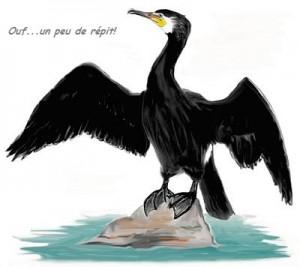 Dessin grand cormoran Image Internet - Ouf