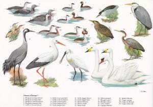 Oiseaux d'Europe 7