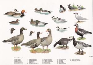 Oiseaux d'Europe 8
