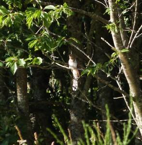Coucou femelle Photo prise à Tendon 2014