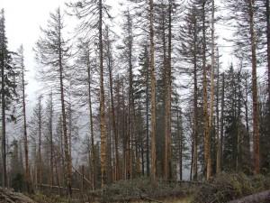 Scolyte typographe - Mortalité massive d'une pessière dans les Vosges au cours de l'été 2019