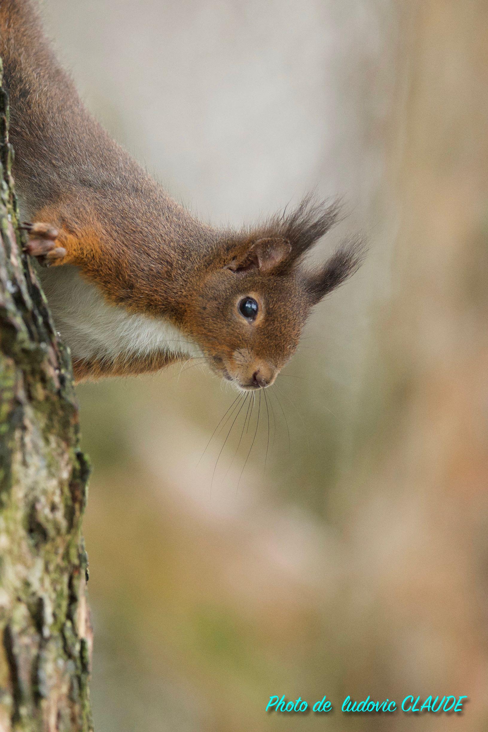 Écureuil roux d'Europe © Ludovic Claude