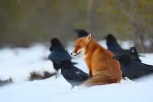 Renard roux et grands corbeaux, en Estonie (photo Remo Savisaar)