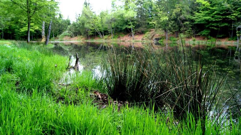 Sortie nature le 29 mai: les étangs de Saint Nabord