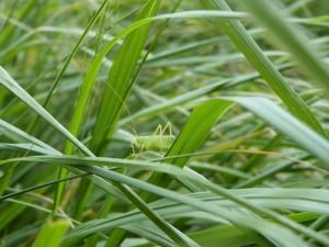 Sauterelle dans les herbes