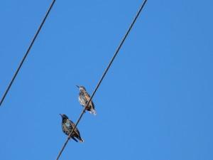 Couple d'étourneaux sansonnet - Photo Pascale Meignan