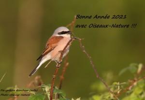 Vœux Oiseaux Nature - pie-grièche (mâle) - Photo Patrick Maison