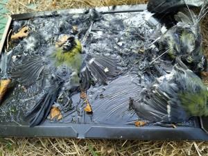 Mésanges tuées sur un piège à glu contre les frelons asiatiques - LPO