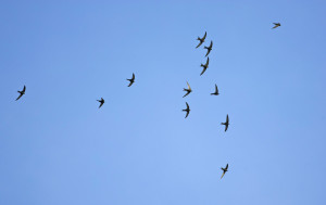 Vol de martinets noirs