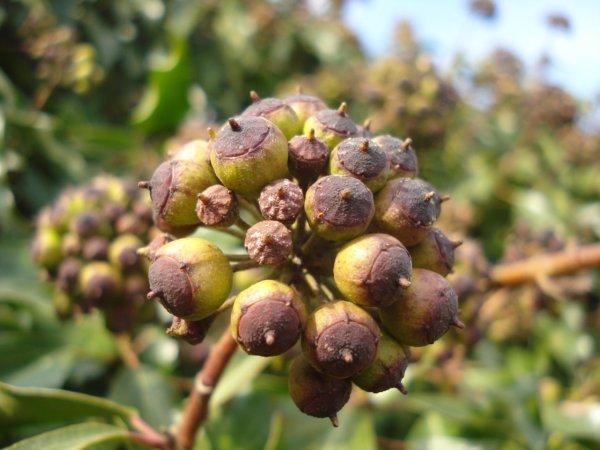 Les fruits du lierre, un délice pour les oiseaux