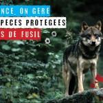 En France on gère nos espèces protégées à coup de fusil - Loup