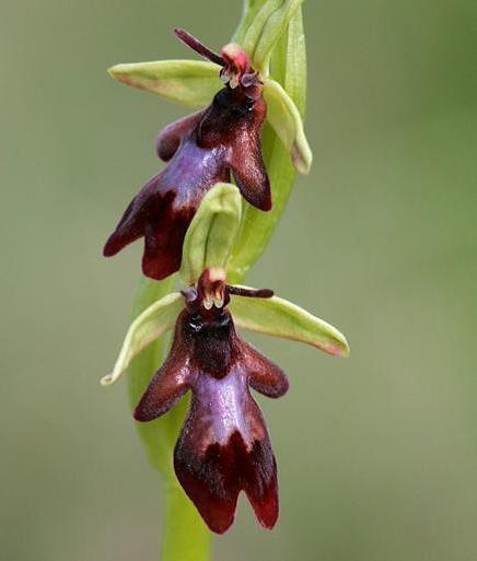 Ophrys mouche - végétaux ©Nicolas hélitas