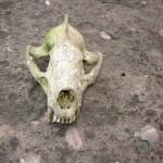 un crâne de jeune blaireau