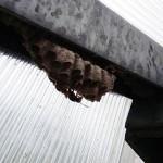 Les guêpes polistes sont pacifiques. Néanmoins il est conseillé de s'approcher doucement du nid à un mètre maximum.
