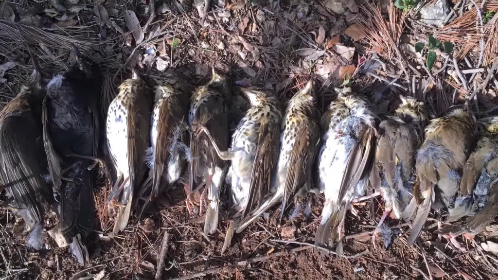 Chasse aux grives - Chasses traditionnelles